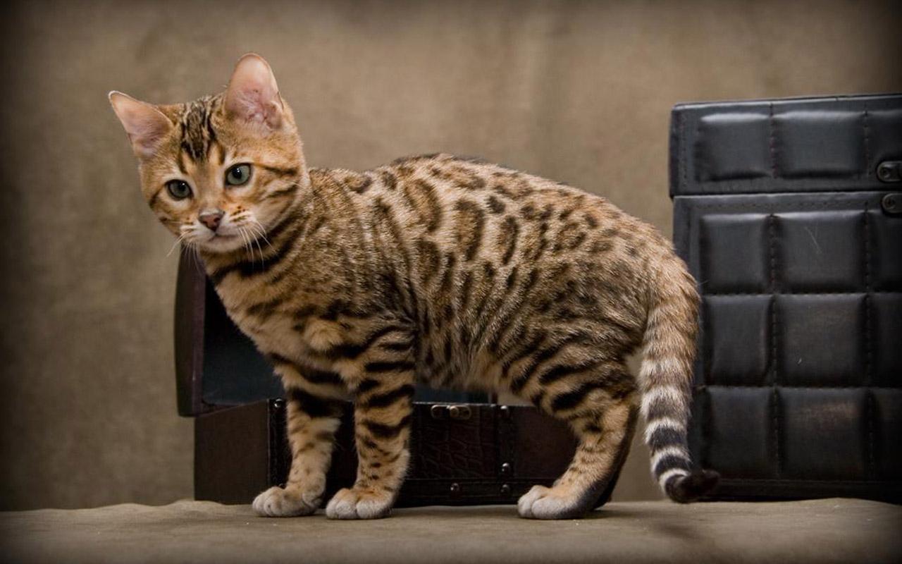 6_cheetoh_cat