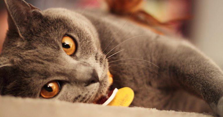 シャルトリュー猫